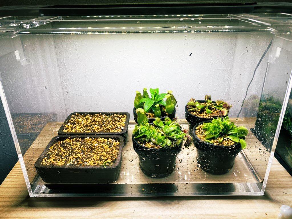 食虫植物の腰水栽培。ウォーターローンの増やし方。