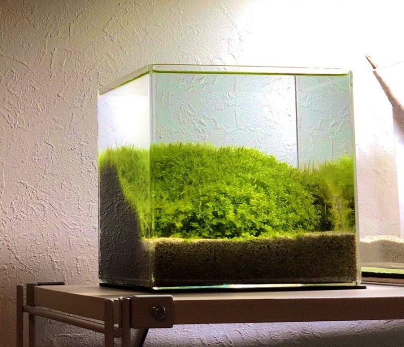 20cm水槽のニューラージパールグラスとウォーターローン水槽。