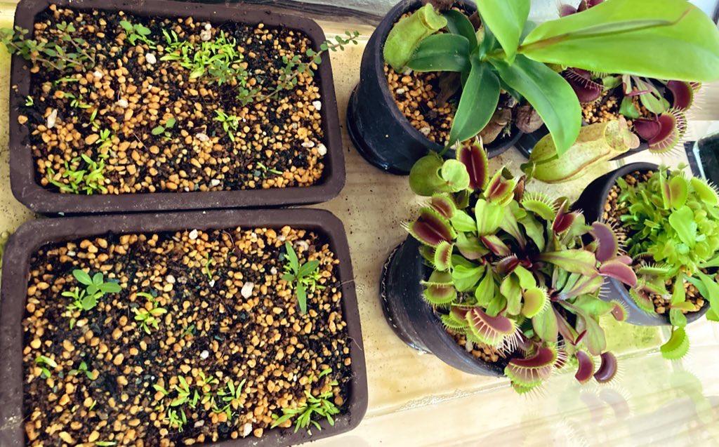 腰水で管理する食虫植物。