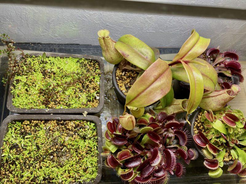腰水栽培で成長を続ける食虫植物とウォーターローン。