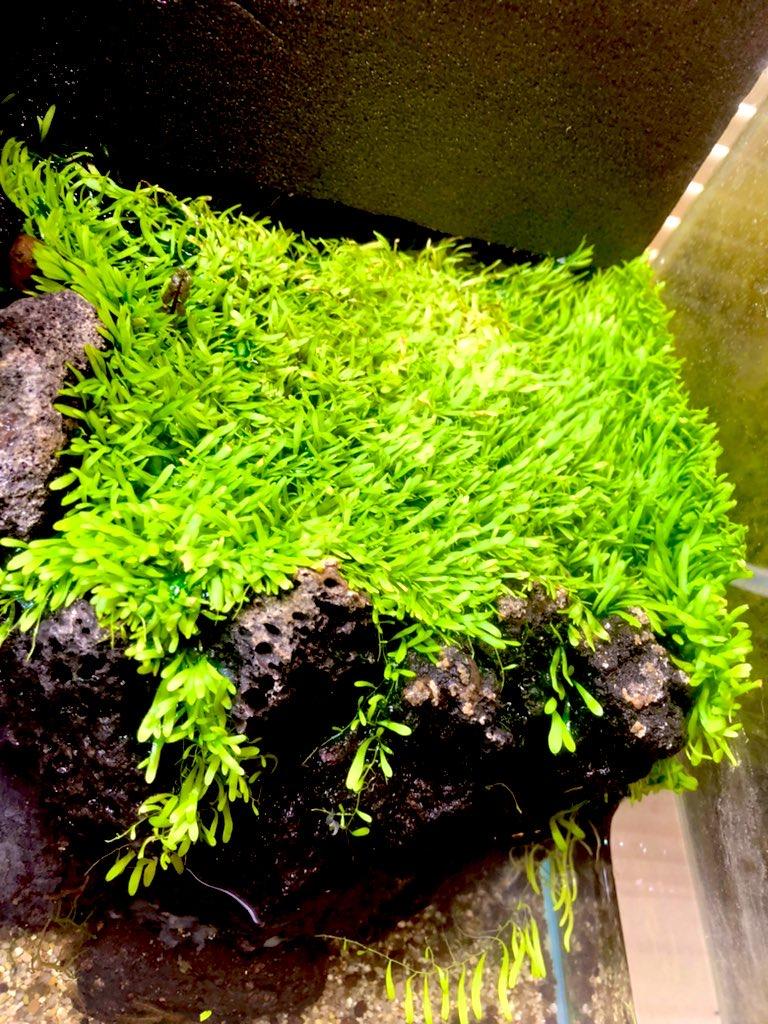 テラリウムで水草絨毯を作るウォーターローン。