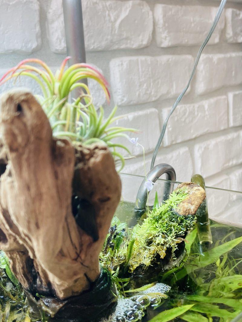 流木に活着して花を咲かせるウォーターローン